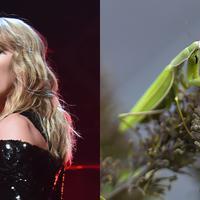 Taylor Swift pernah bekerja sebagai penangkap belalang. Ia bekerja di perkebunan jadi rumah pembelinya tak terkena belalang saat membeli tumbuhan dari tokonya. (Getty Images-Cosmopolitan)