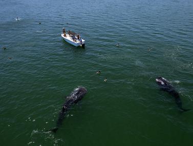 Berenang Bersama Hiu Paus di Perairan Los Angeles