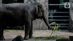 Gajah memakan makanan dalam kandangnya di Taman Margasatwa Ragunan, Jakarta Selatan, Senin (20/4/2020). Selama sebulan diistirahatkan dari kunjungan warga, hewan-hewan itu tampak lebih bagus dan lebih fresh penampilannya. (Liputan6.com/Faizal Fanani)