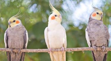 Ilustrasi burung korela (iStock)