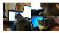 Aksi Kucing Menganggu Majikan saat Bekerja dari Rumah  (Sumber: Boredpanda)