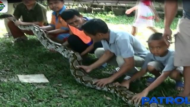 Sebelumnya, warga sempat kesulitan untuk menangkap reptil liar ini karena diketahui berada di kebun milik warga setempat.