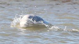 Seekor paus beluga atau paus putih muncul di permukaan Sungai Thames dekat Gravesend timur London, Rabu (26/9). Pengamat mengatakan, habitat mamalia laut ini ada di Arktik yang jaraknya mencapai ratusan mil dari lokasi ditemukan. (AFP/Daniel LEAL-OLIVAS)