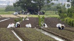 Petani memanen sayuran di Tangerang, Banten, Kamis (8/7/2021). Program Kredit Usaha Rakyat (KUR) sektor pertanian dirasakan manfaatnya oleh petani. (Liputan6.con/Angga Yuniar)