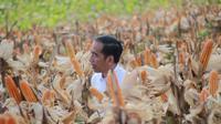 Presiden Joko Widodo (Jokowi) memanen dalam acara panen raya jagung di Desa Botuwombato, Kabupaten Gorontalo Utara, Jumat (1/3). Selain memanen, Jokowi juga memberikan bantuan kepada petani. (Liputan6.com/Arfandi Ibrahim)