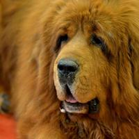 Tibetan Mastiff, anjing termahal di dunia (Reuters)