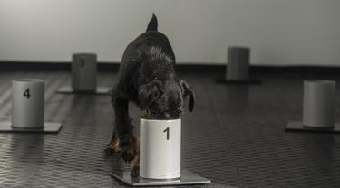 Seekor anjing Jagd Terrier bernama Renda mengendus aroma dalam wadah di pusat pelatihan anjing pelacak COVID-19, Kliny, Republik Ceko, 22 Januari 2021. Otoritas Republik Ceko melatih anjing untuk mengendus aroma COVID-19. (Michal Cizek/AFP)