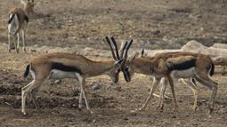 Gazel mengunci tanduk di dalam kandang di Kebun Binatang Buin di Santiago, Selasa (15/6/2021). Kebun binatang swasta terbesar di Chile mengalami situasi ekonomi yang serius karena penutupan akibat dari perpanjangan karantina wilayah di tengah meningkatnya kasus COVID-19. (AP Photo/Esteban Felix)
