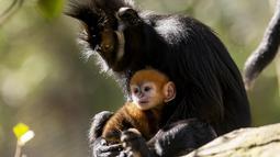 Gambar yang dirilis pada 4 Oktober 2019 memperlihatkan bayi monyet paling langka di dunia jenis Francois Langur berada di dekat induknya di Kebun Binatang Taronga, Sydney. Kebun binatang memperkirakan spesies ini hanya ada sekitar 3.000 yang tersisa di alam liar. (Rick Stevens/TARONGA ZOO/AFP)