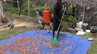 Salmon Sanggrangbano, petani kakao asal Kabupaten Jayapura, Papua, menjemur biji kakao. (Liputan6.com/Anri Syaiful)