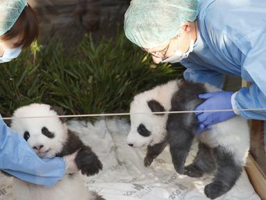 "Dua anak panda ""Meng Yuan"" (kiri) dan ""Meng Xiang"" diperlihatkan kepada media setelah mereka diberi nama di kebun binatang Zoologischer Garten di Berlin (9/12/2019). ""Meng Yuan"" dan ""Meng Xiang""  merupakan anak panda raksasa Meng Meng dan Jiao Qing. (AFP/Odd Andersen)"
