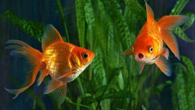 9 Jenis Ikan Mas Koki Terbaik Yang Mudah Dirawat Beserta Harganya Hot Liputan6 Com