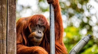 Puan, orangutan Sumatera tertua mati pada usia 62 tahun di kebun binatang Western Australia.