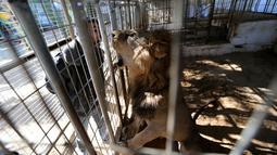 Seorang pria membuka mulutnya saat melihat singa di sebuah kebun binatang, Rafah, Jalur Gaza, Selasa (3/1). Koleksi hewan di kebun binatang ini mengalami penurunan yang tajam karena banyak hewan yang mati. (REUTERS / Ibraheem Abu Mustafa)