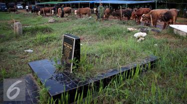 Pedagang hewan kurban di Tempat Pemakaman Umum (TPU) di Jakarta, Senin (5/9). Menjelang Hari Raya Idul Adha 1437 H, pedagang hewan ini memanfaatkan lahan kuburan untuk berjualan karena terbatasnya lahan di Jakarta. (Liputan6.com/Johan Tallo)