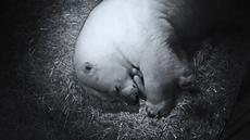 Induk beruang kutub,Liya, bercengkerama dengan bayi kembarnya di dalam kandang di Sea World Gold Coast, Australia, Selasa (2/5). Beruang 16 tahun itu melahirkan dua bayi dengan panjang 15 sentimeter. (Handout / SEA WORLD AUSTRALIA / AFP)