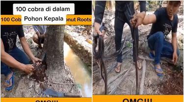 Viral Pria Ini Temukan 100 Ular di Dalam Pohon Kelapa, Bikin Merinding