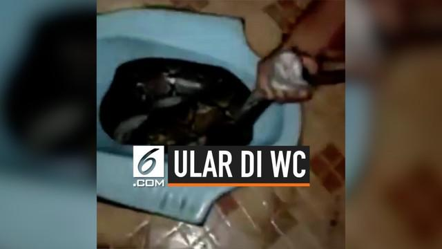 Ditemukan seekor ular besar di dalam WC rumah seorang warga di Jambi. Ini menggemparkan penduduk setempat. Pemilik rumah pun bergegas meminta bantuan tetangga sekitar.
