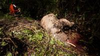 Seorang pria mengambil gambar bangkai gajah berumur 7 tahun yang mati di Desa Turue Cut, Pidie, Aceh, Kamis (18/11). Diduga gajah tersebut mati keracunan karena memakan tumbuhan berpestisida atau siput beracun. (AFP PHOTO/Zian)