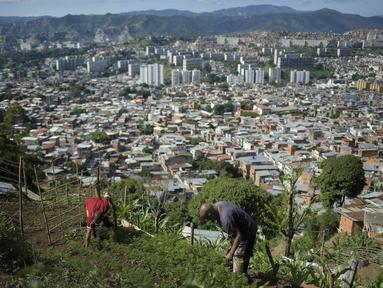 Edgar Martinez (kiri) dan ayahnya Antonio Martinez merawat tanaman mereka di lereng bukit di atas Caracas, Venezuela (13/9/2020). Penduduk Caracas menanam tanaman di mana pun mereka dapat menemukan ruang, menggunakan hasil panen mereka untuk konsumsi mereka sendiri. (AP Photo/Matias Delacroix)
