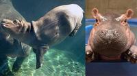 "Seekor kuda nil, Fiona, memiliki acara ""The Fiona Show"" yang tayang di fanpage-nya (Cincinnati Zoo & Botanical Garden)"