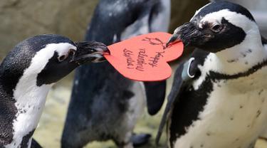 Penguin Afrika merebutkan sarang berbentuk hati yang dibagikan oleh ahli biologi akuarium Piper Dwight di Akademi Ilmu Pengetahuan California, San Francisco, Selasa (12/2). Kado itu sebagai bentuk perayaan hari Valentine atau kasih sayang.  (AP/Jeff Chiu)