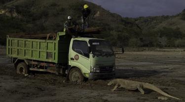 Seekor Komodo menghadang truk proyek di Pulau Rinca