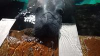 Bagaimana sensasi memberi makan hewan meggemaskan seperti manatee? (Liputan6/pool/Vinsensia Dianawanti)