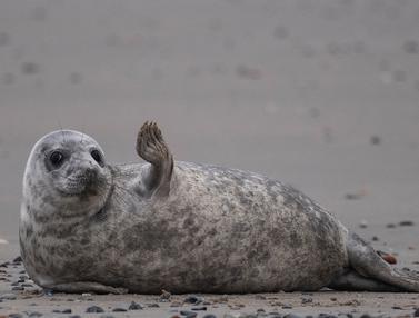 Melihat Aktivitas Anjing Laut Abu-Abu di Pulau Helgoland