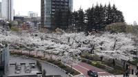 Bunga-bunga Sakura yang bermekaran di Tokyo, Jepang. (Liputan6.com/Edu Krisnadefa)