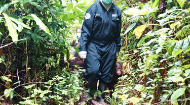 Dilema BOSF Merawat Orangutan Saat Pandemi Corona COVID-19, Beli Masker Bedah Harga Selangit