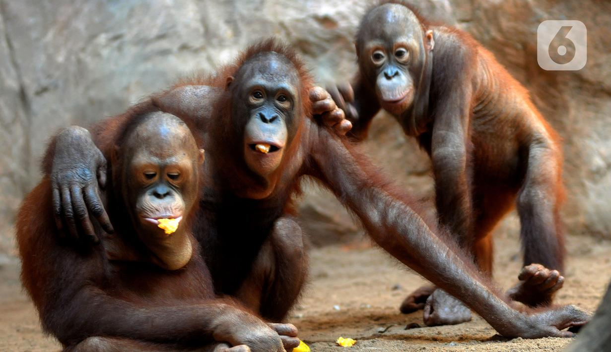 Orangutan Sumatra (Pongo Abelii) makan buah-buahan di Taman Margasatwa Ragunan (TMR), Jakarta, Selasa (23/2/2021). Walau masih tutup akibat pendemi COVID-19, pelayanan terhadap satwa di TMR tetap berjalan setiap hari dan sesuai protokol kesehatan. (merdeka.com/Arie Basuki)
