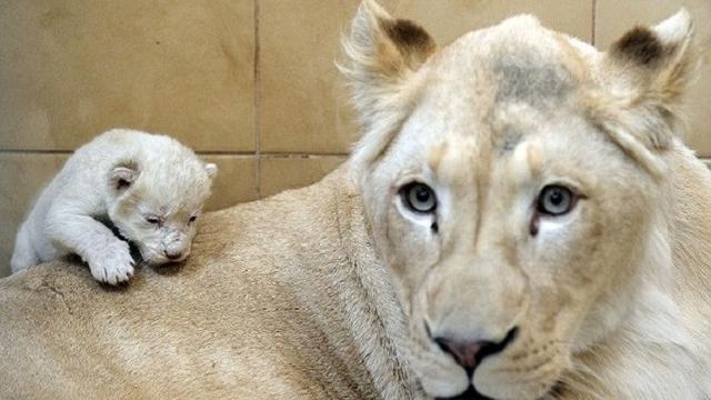 Ilustrasi singa betina (AFP)