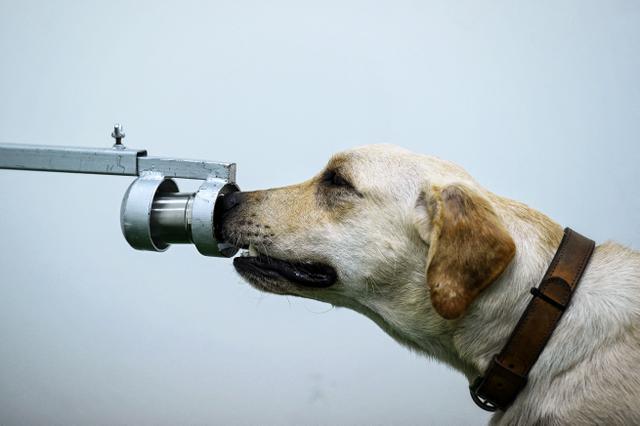 Bobby, anjing pelacak K9 jenis Retriever mengendus sampel keringat dalam tes mendeteksi Covid-19 di Fakultas Ilmu Kedokteran Hewan di Universitas Chulalongkorn di Bangkok pada 21 Mei 2021. Penelitian dilakukan sejak awal Mei dan anjing tersebut sudah memeriksa ribuan sampel (Lillian SUWANRUMPHA/AFP)