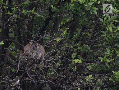 Tiga monyet ekor panjang (Macca Fascicularis) liar mencari makan kantong plastik yang banyak ditemukan di hutan Taman Marga Satwa Muara Angke, Jakarta,Sabtu (19/1). (Merdeka.com/Imam Buhori)