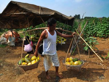 Petani memanen buah timun suri di Desa Kemang, Bogor, Selasa (7/5/2019). Intensitas hujan yang tinggi di Bogor menyebabkan hasil panen buah yang biasa dikonsumsi pada bulan ramadan itu menurun sehingga harga timun suri naik dari Rp 6 ribu per buah jadi Rp 12 ribu per buah. (merdeka.com/Arie Basuki)