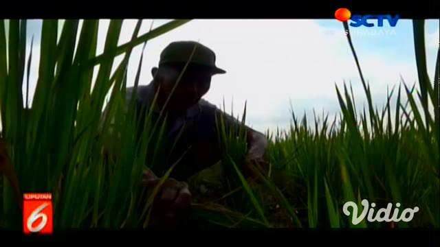 Kemarau panjang berdampak pada puluhan hektar tanaman padi yang berumur 1 hingga 1,5 bulan menjadi kering, karena kurangnya pasokan air membuat tanaman menjadi kuning dan tak sehat, tanah di area juga menjadi retak-retak.