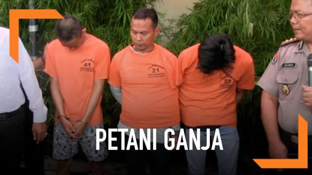 Polisi Yogyakarta menangkap pemasok ganja yang tanam ribuan pohon ganja di polybag.