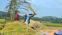 Petani tengah memanen padi organik di Cingebul Kecamatan Lumbir, Banyumas. (Foto: Liputan6.com/Muhamad Ridlo)