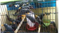 satwa burung Jalak Tunggir yang ada dalam sangkar yang di tahan oleh BBKSDA NTT Wilayah Labuan Bajo. (Liputan6.com/Dionisius Wilibardus)