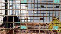 Seekor anak beruang madu ditemukan terjerat tali nilon yang dipasang pemburu liar di kawasan Taman Buru Semidang Bukit Kabu Seluma Bengkulu. (Liputan6.com/Yuliardi Hardjo)