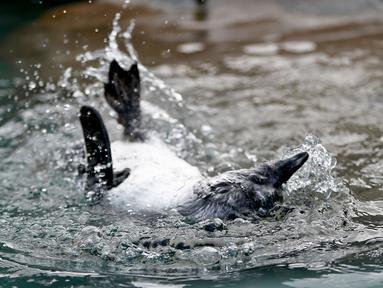 Seekor penguin Afrika  diajari cara berenang di habitat penguin di National Aviary, Pittsburgh, 12 April 2018. Hewan akuatik yang menetas di kandang burung pada bulan Desember 2017 itu baru saja diperkenalkan ke air. (AP Photo/Keith Srakocic)