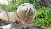 Belut kecil terjebak di lubang hidung Anjing laut jenis Hawaiian monk (NOAA Fisheries/Brittany Dolan)