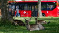 Beberapa ekor rusa bera beristirahat di halaman berumput di area permukiman di London, Inggris (8/4/2020). Rusa yang biasanya terlihat di taman bermunculan di area permukiman London selama karantina wilayah (lockdown) berskala nasional dalam upaya memerangi pandemi Covid-19. (Xinhua/Han Yan)