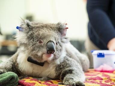 Seekor koala betina menjalani pemeriksaan kesehatan di Melbourne, 6 Desember 2020. Setelah berbulan-bulan menjalani perawatan dan pemulihan, sejumlah koala yang terluka akibat kebakaran hutan besar di Australia pada musim panas lalu akhirnya kembali ke alam liar. (Xinhua/Kebun Binatang Victoria)