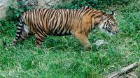 Apa yang menyebabkan harimau Sumatera ini harus disuntik mati?