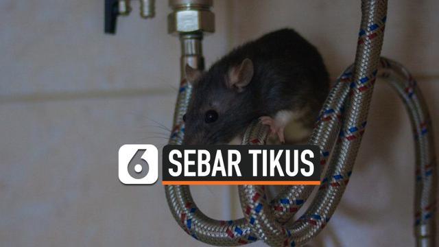 SEBAR TIKUS