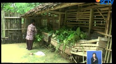 Hewan ternak terpaksa dipindahkan ke kandang lain yang lebih tinggi untuk menghindari banjir.