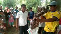 Warga sigi menangkap piton jumbo yang sedang memakan babi hutan. (Foto: Liputan6.com/Heri Susanto)
