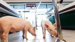 Anak babi saat menyusuri supermarket Casino di Sarlat, Perancis barat daya, setelah para petani melepaskannya sebagai bentuk demo di supermarket tersebut, Kamis (20/8/2015). (AFP PHOTO/Yohan Bonnet)